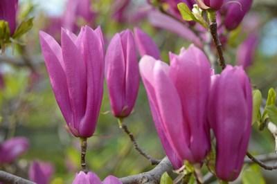 Magnolia Jane C154-5K